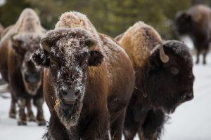 Le bison et les tribus amérindiennes du Nord